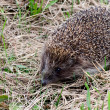 Hedgehog in a grass — Stock Photo #30431627