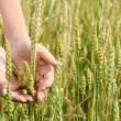 Female hands with wheat ears on a wheaten field — Stock Photo
