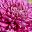 Aster flower macro — Stock Photo