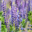 Flowers lupin in the field closeup — Stock Photo #30431705