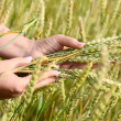 Female hands with wheat ears on a wheaten field — Stock Photo #30431801