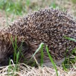 Hedgehog in a grass — Stock Photo #30431825