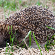 Hedgehog in a grass — Stock Photo