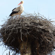Foto Stock: Stork in nest