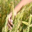 Female hands with wheat ears on a wheaten field — Stock Photo #33424307