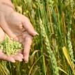 Female hands with wheat ears on a wheaten field — Stockfoto