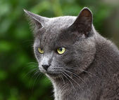 Close up portrait of grey kitten — Stock Photo