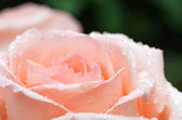 Pink rose closeup with water drops — Stock Photo