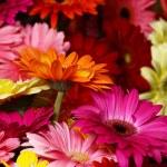 Bouquet gerbera flowers — Stock Photo #47002323