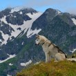 Husky dog happily hiking in the mountains — Stock Photo