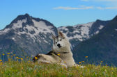 Young husky dog hiking in the mountains — Stock Photo