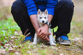 A small siberian husky puppy safely hiding in the hands of his onwer — Stock Photo