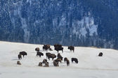 Caucasian bisons in the wilderness of winter mountains — Stock Photo