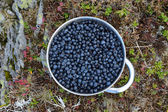 A plate of bilberries gathered in a mountain hike — Stock Photo