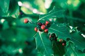 Holly bush — Stock Photo