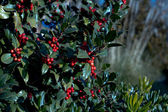 Holly bush — Stock Photo