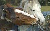 Chat cheval, deux chevaux de tête togeather — Photo