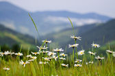Flowers on the green grass in the mountains — Stock Photo