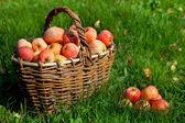 яблоки в корзину — Стоковое фото