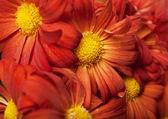 Chrysanthemum in a basket — Stock Photo