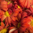 Chrysanthemums — Foto de Stock