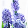 Purple hyacinths — Stock Photo