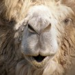 Stock Photo: Muzzle of camel