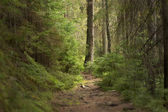 Forest in the Carpathian Mountains. — Stock Photo