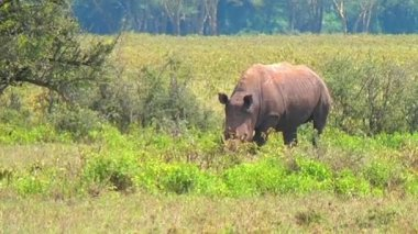 Black rhino eating grass. — Stock Video