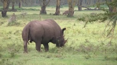Black rhino marks its territory with urine. — Stock Video