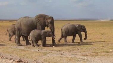 Baby elephant in a herd — Stock Video