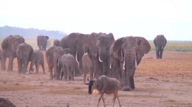 A Large Herd Of African Elephants Migrate Across Amboceli National Park — Stock Video