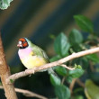 Finches sitting on a branch in the forest — Stok video