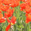 Stock Video: Showy spring blooming Dutch red tulips
