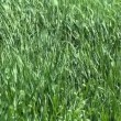 Stock Video: Wind fluttering green grass