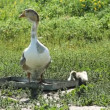 Stock Video: Two goose walking at green grass