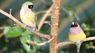 Finches sitting on a branch in the forest — 图库视频影像