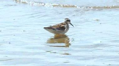 浅层水中的小小鸟饲料。 — 图库视频影像