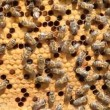 Swarm of bees produce honey - Stock Photo