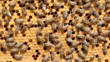 Swarm of bees produce honey — Stockvideo