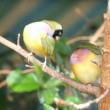 Stock Video: Finches sitting on branch in forest