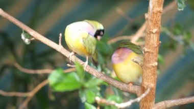 Pinzones sentado en una rama en el bosque — Vídeo de Stock