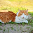 Young cat lying in the grass — Stock fotografie