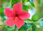 Red hibiscus flower with green leaves — Stock Photo