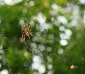 Spider on the web over green background — Stock Photo