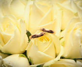 Wedding rings on the beige roses close up — Stock Photo