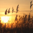 High reed against sunset sky in wind day — Stock Video
