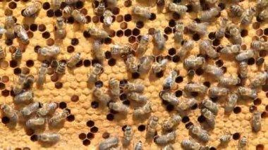 Swarm of bees produce honey — Stock Video