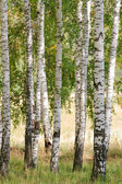 Autumn birch forest. September — Stock Photo