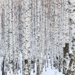 Winter birch forest, january — Stock Photo